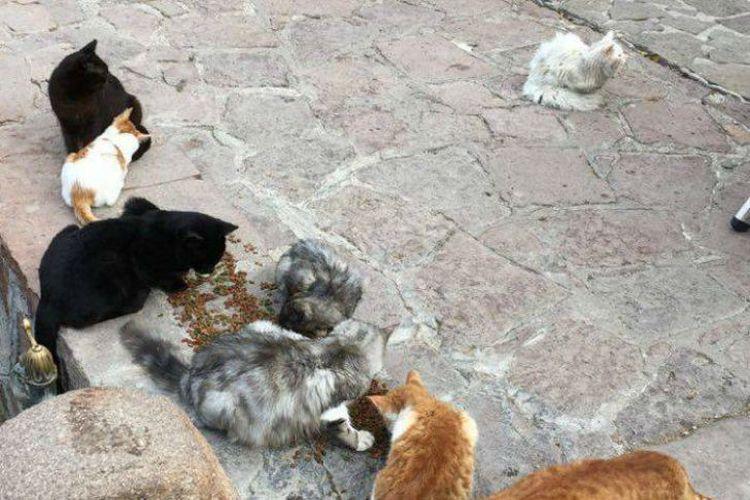 Этот кот обошел полмира, чтобы добраться до своих хозяев